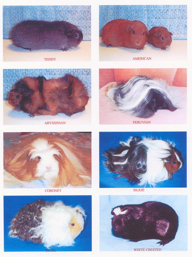 Pregnant Guinea Pig Stages
